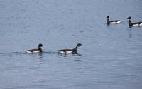 水鳥を求めて漁港巡り(2) - へっぽこな・・