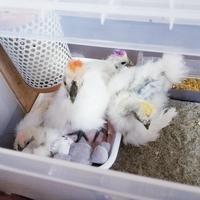 烏骨鶏集まって寝るよ - 烏骨鶏かわいいブログ