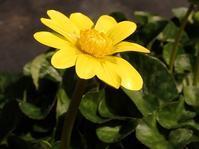 キクザキリュウキンカ菊咲立金花 - 里山の四季