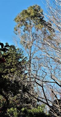 ユーカリノキ - 里山の四季