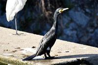 カワウ - 阪南カワセミ【野鳥と自然の物語】