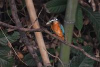 カワセミの食事風景 - 阪南カワセミ【野鳥と自然の物語】