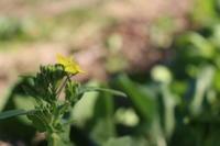 菜の花が咲きました。 - 週刊「目指せ自然農で自給自足」