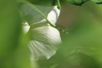 豆の花 - 月の沙漠を