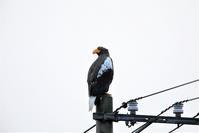 電線が・・・ - 綺麗な野鳥たち