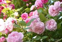 ピンクが好き - カヲリノニワ