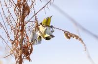 枝かぶりの野鳥たち - 暮らしの中で