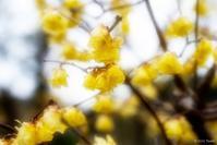 蝋梅の里 - toshi の ならはまほろば