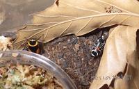 キスジワモンゴキブリ~羽化したよ~ - むいむいのお時間