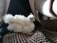 烏骨鶏生後33日目 - 烏骨鶏かわいいブログ