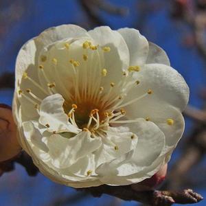 玉牡丹の花 -