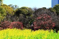 梅と菜の花 - お散歩写真     O-edo line