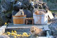カピバラ温泉2020~鮮烈の桶風呂ツイン!!(埼玉県こども動物自然公園) - 続々・動物園ありマス。