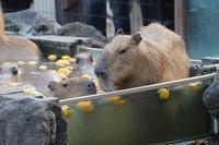 カピバラ温泉2020~温泉へ走れ!!(埼玉県こども動物自然公園) - 続々・動物園ありマス。