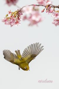 メジロ飛翔×早咲き桜 - MIRU'S PHOTO