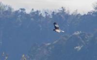 頭の黒い大陸型チュウヒ - 夫婦でバードウォッチング