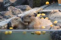カピバラ温泉2020~桶風呂三昧!!(埼玉県こども動物自然公園) - 続々・動物園ありマス。