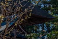 沙沙貴神社の蝋梅 - 鏡花水月