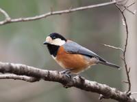 斜面林でヤマガラを撮影 - コーヒー党の野鳥と自然パート3