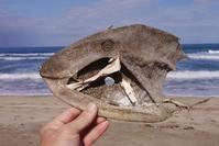 久々・ウスバハギ - Beachcomber's Logbook