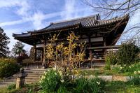 水仙咲き乱れる般若寺 - 花景色-K.W.C. PhotoBlog