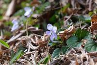 ■暖冬に咲く花20.2.6(タチツボスミレ、ヒメウズ) - 舞岡公園の自然2