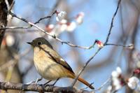白梅と小鳥 - かたくち鰯の写真日記2