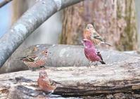 オオマシコ - くまさんの二人で鳥撮り