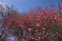冬の公園にて ~梅の花~ (2020/2/3 撮影) - toshiさんのお気楽ブログ
