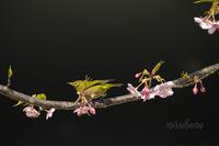 続・メジロ飛翔×早咲き桜 - MIRU'S PHOTO