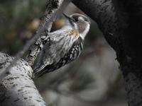 『小啄木鳥(コゲラ)と立金花(リュウキンカ)と福寿草(フクジュソウ)』 - 自然風の自然風だより