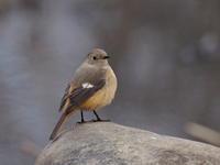 葦原にいたジョウビタキ - コーヒー党の野鳥と自然パート3