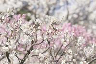 今鎌倉の梅でお勧めの場所は長谷寺です。 - エーデルワイスPhoto