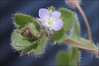 フラサバソウも咲きました - 里山の四季