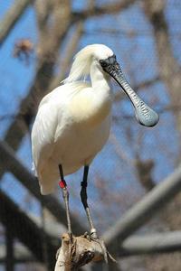 多摩動物公園の鳥たち~ナベコウとニホンコウノトリの飛行(March 2019) - 続々・動物園ありマス。