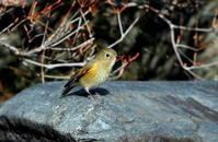ルリビタキの雌明るい場所での水浴びに - 私の鳥撮り散歩