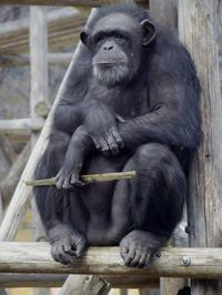 イクちゃんと棒切れ[神戸市立王子動物園] - a diary of primates