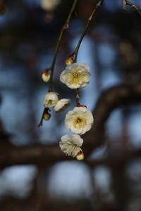 敷島公園に咲く梅 (2020/2/3 撮影) - toshiさんのお気楽ブログ