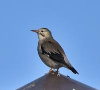 ギンムクドリⅠ - 打出頑爺の鳥探し