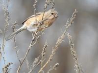 『紅猿子(ベニマシコ)と目白(メジロ)等5種の鳥達~』 - 自然風の自然風だより