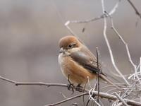 枝先に留まったモズ - コーヒー党の野鳥と自然パート3