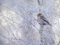 霧氷とオオマシコたち - トドの野鳥日記