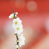 荏柄天神社の白梅が見ごろです - エーデルワイスPhoto