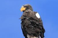 オオワシ日高の漁港で - 今日の鳥さんⅡ