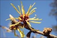 シナマンサクやヒイラギナンテンも開花 - 里山の四季