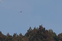 2km先のオオワシ、ミサゴに虐められる - 野鳥公園