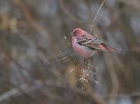 採餌中のオオマシコ雄たち - トドの野鳥日記