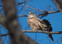 裏庭のマスコット - 今日も鳥撮り
