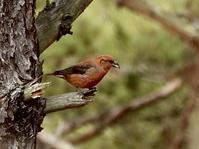 イスカ、オオマシコ、カワアイサ他@諏訪周辺 - 青爺の野鳥日記