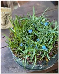 芽出し球根ムスカリの寄せ植え - 小さな庭 2